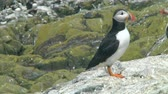 rookery : Single puffin