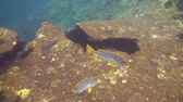 plectorhinchus : Striped Sweetlips in the Bali Sea