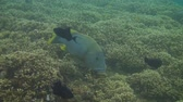 plectorhinchus : Giant sweetlips in the Bali Sea