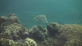indonesia : Broadclub cuttlefish on the coral reef of the Bali Sea Stock Footage