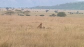 assassinato : Cheetah in Serengeti NP, Tanzania