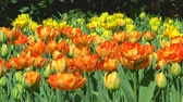 bulboso : Field of double orange tulips in Holland Stock Footage