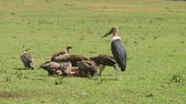 assassinato : Vultures in Serengeti NP, Tanzania