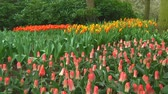 bulboso : Field of mixed tulips in the Netherlands Stock Footage