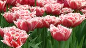 bulboso : Fringed white and pink tulips Stock Footage