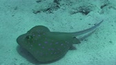 picar : A bluespotted stingray (taeniura lymma) swimming in the Red Sea