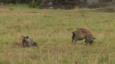 assassinato : Spotted hyena with kill Serengeti NP, Tanzania