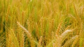 rozs : Ear dry barley in field,yellow grain