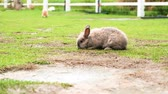 coelho : Rabbit eat grass in garden Vídeos