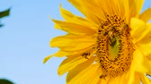 подсолнечник : Bees searching for nectar from sunflower.bee gathering pollen from sunflower