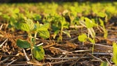 cultivated land : young soybean plants growing in cultivated field, agricultural soy field rows in sunset.