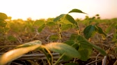 planta : young soybean plants growing in cultivated field, agricultural soy field rows in sunset.