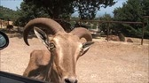 ovelha : a mouflon near a car