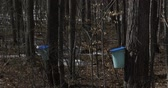 сок : Sugar bush during maple syrup harvest season, with view of the buckets used to collect the sap