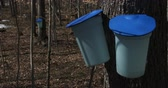 сок : Buckets used to collect maple syrup during harvest season
