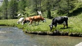 vitela : Cows grazing on the shore of a river on an alpine pasture