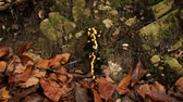 fire salamander : Salamander moving slowly on moss in the forest. Rare animal species preservation concept