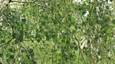 hinges : Birch tree in the rain Stock Footage
