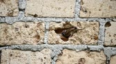 küçük kuş : A pair of sparrows perched on the wall and slipped between the brick holes Stok Video