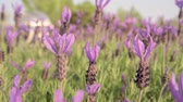 Lavender flowers in the foreground and blurred background. Stock Footage