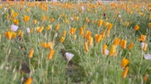 California poppy flowers in the foreground and blurred background. Stock Footage