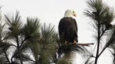 Айдахо : Video clip of a majestic bald eagle perched in a tree searching for food by Coeur dAlene Lake in north Idaho.