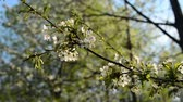 blooming : A blooming branch of an apple tree in spring with light wind. Blossoming apple with beautiful white flowers. Branch of an apple tree in bloom in the spring in a sunshine garden. Stock Footage