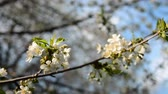 flower gardening : A blooming branch of an apple tree in spring with light wind. Blossoming apple with beautiful white flowers. Branch of an apple tree in bloom in the spring in a sunshine garden. Stock Footage