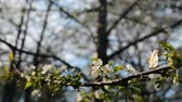 pomar : A blooming branch of an apple tree in spring with light wind. Blossoming apple with beautiful white flowers. Branch of an apple tree in bloom in the spring in a sunshine garden. Stock Footage
