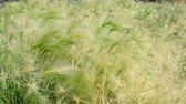economia rural : Beautiful long grass moving in the wind. Meadow grass background. Vídeos