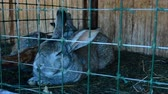 hare : Rabbits in the cage eat grass. Rabbits intended for breeding. They live in the countryside. Stock Footage