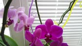 орхидея : Orchid on the window in the house. Flowers and plants for the home. Стоковые видеозаписи