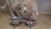 etobur hayvan : A close-up of the red cat eating the food from the bowl. Feeding a pet