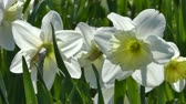 jonquil : narcissus