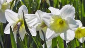 jonquil : White narcissus Stock Footage