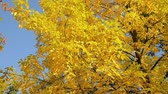 windy : Beautiful colorful autumn foliage in a tree Stock Footage