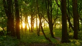 Sunset beams through trees in forest