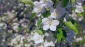 4k uhd- blooming Apple trees in garden. Smooth camera movement. Close-up footage. Stock Footage