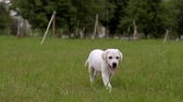 ifjabb : Cute white little puppy Labrador walks on park. Slowmotion.