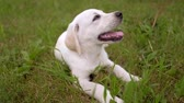 Cute white puppy Retriever lies on green lawn in the Park, relax after walks. Tongue out. Slowmotion.