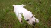 Cute white puppy Labrador lies on green lawn in the Park, relax after walks. Slowmotion.