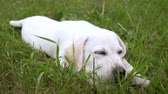 Close-up - cute white puppy with closed eyes lies on green lawn in the Park, resting after walks. Slowmotion.