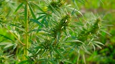 ilegal : close up - medical marijuana blooming growing in the field, slowmotion, agriculture concept