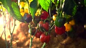 flavour : Camera pans through farm of ripe tomatoes on the vine with lighting Stock Footage
