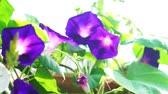 ipomoea : Purple morning glory blooming in morning sun. Herb plant Stock Footage