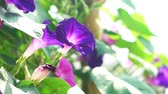 ипомеи : Purple morning glory blooming in morning sun. Herb plant Стоковые видеозаписи