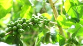 coffee cherry : Green coffee cherries beans on a coffee tree branch in organic farm