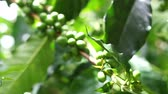 red coffee cherries : Green coffee cherries beans on a coffee tree branch in organic farm