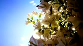 blossom : Tropical white Bougainvillea, paper flower with bright blue sky and sunshine background