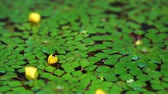 Лилли : 4K shot of beautiful special species of geometric water lilies leaf floating in pond with small fish swimming under